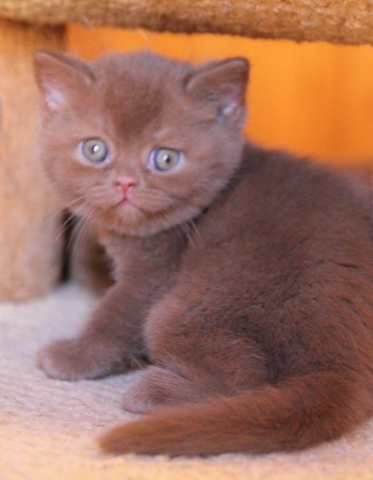 """Olivia of Kotoffski - """"KOTOFFSKI"""" British Shorthair Cattery"""