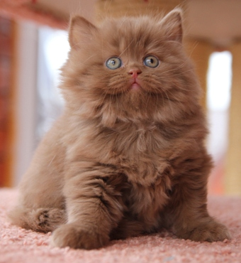 "KOTOFFSKI"" British Shorthair Cattery: Double litter kittens Ch Your ..."