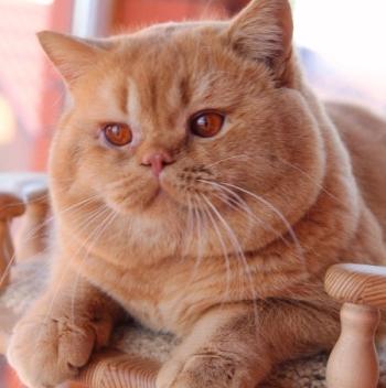 British cinnamon shorthair cat